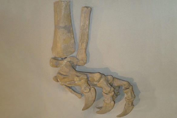 Plateosaurier-Fuss mit grossen Krallen. Die Pflanzenfresser wurden bis zu 2 Tonnen schwer.