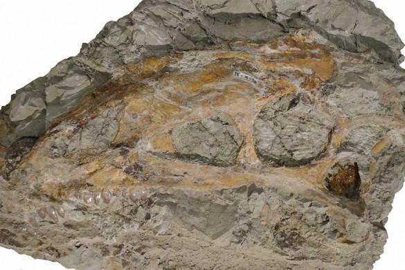 Plateosaurier-Schädel mit gut erhaltenen Zähnen.